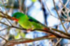 Swift Parrot 2 KVang Bootlace Res, KI 30