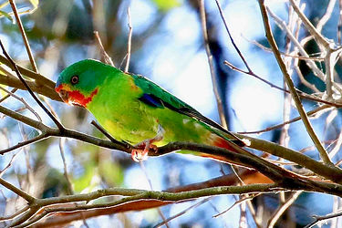 Swift Parrot 2 KVang Bootlace Res, KI 30