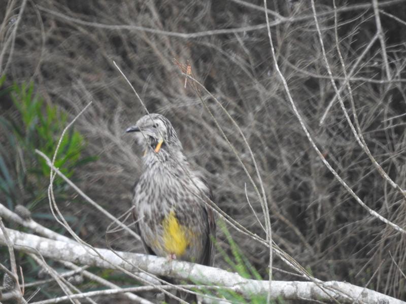 Yellow Wattlebird - King Island subspecies