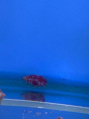 Reg Leg Hermit Crabs