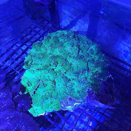 Green mushrooms WYSIWYG