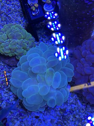 Pearl green bubble WYSIWYG