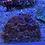 Thumbnail: Rainbow symphyllia WYSIWYG