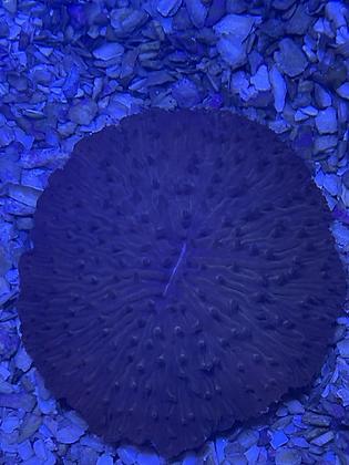 Fungia WYSIWYG