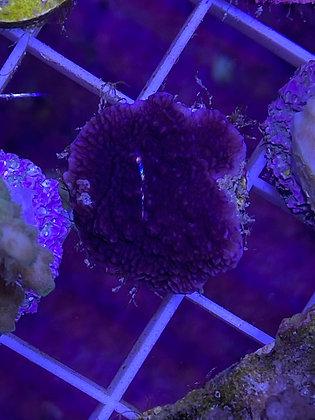 SPS Frag - Purple Monti