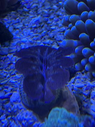 Crocea clam WYSIWYG