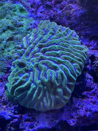 Platygyra  coral WYSIWYG