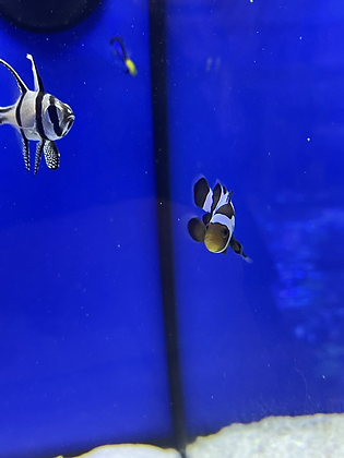Black ice snowflake clown pair - COLLECTION ONLY