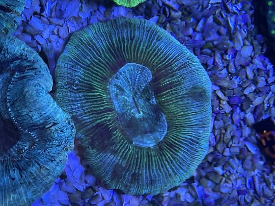 trachyphyllia blue ring WYSIWYG