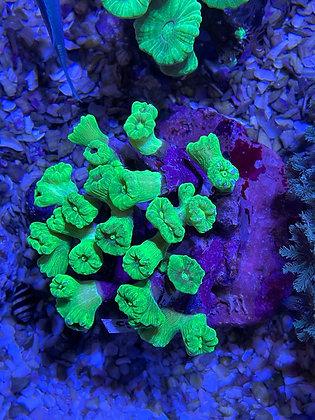Neon candy canes WYSIWYG