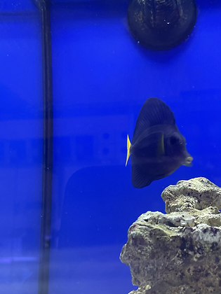 Purple Tang - COLELCTION ONLY