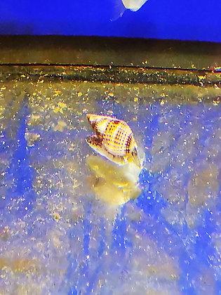 Nassarius Snail Large