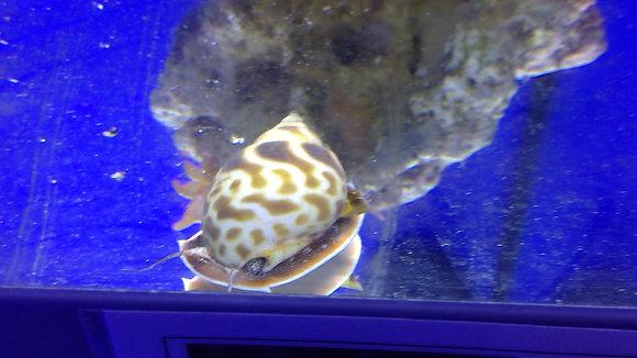 Snail orange marble