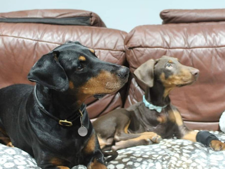 Dogue and the Dobermanns
