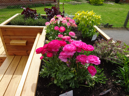 Ranunculus at The Friendly BenchⓇ
