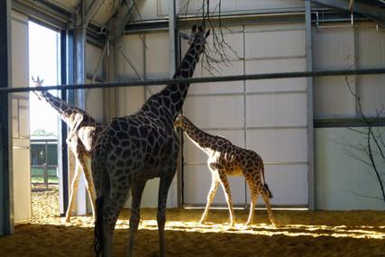 Giraffes, ZSL Whipsnade Zoo