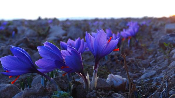 2017 Saffron Secret Harvest