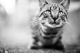 gatto b_n
