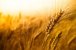 Wheat7