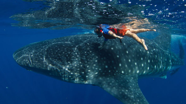 Special!! Whale shark adventure