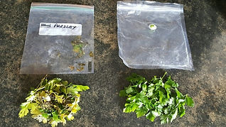 Herbs stored parsley 5 months.jpg