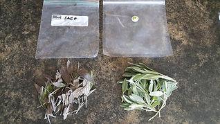 Herb stored Sage 5 months.jpg