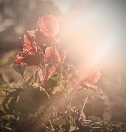 Red Poppy_edited_edited.jpg