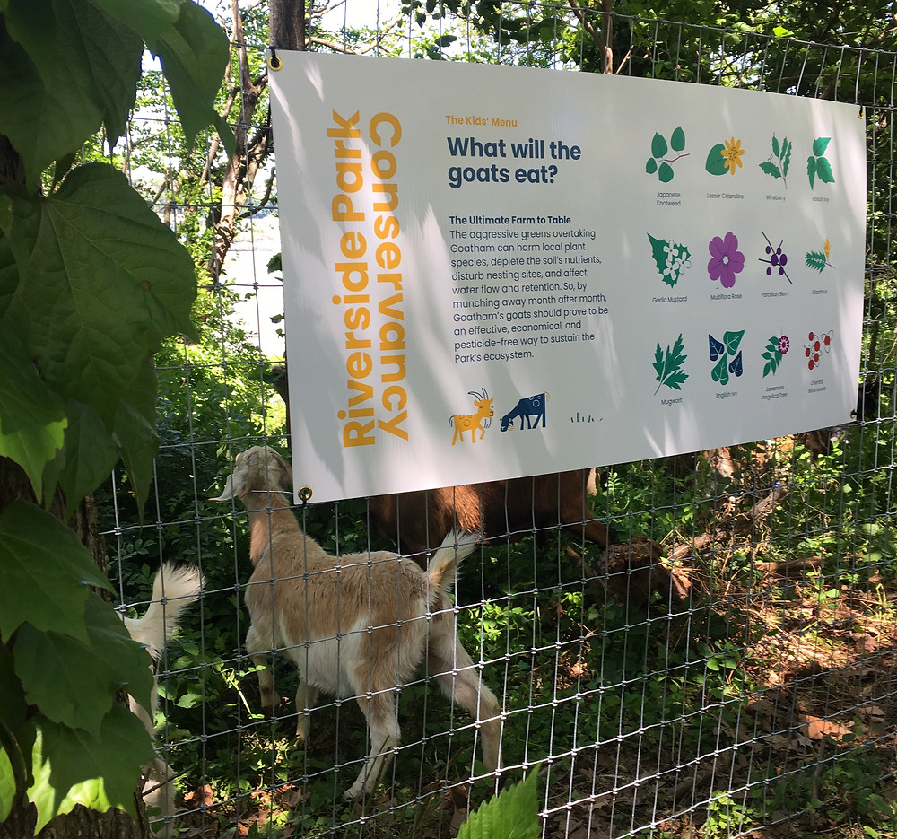 A list of the weeds the goats will eat in Riverside Park