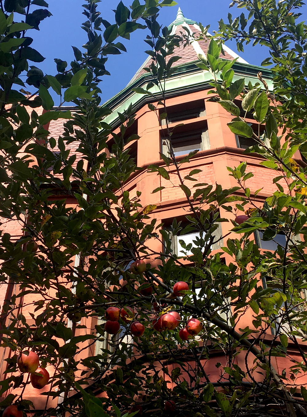 An apple tree grows in Harlem