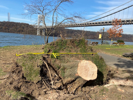 See it: after tornado warning, as many as 10 trees are uprooted in Fort Washington Park