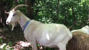 Uptown links: Riverside Park's weed-munching goats are set to return this summer, and more