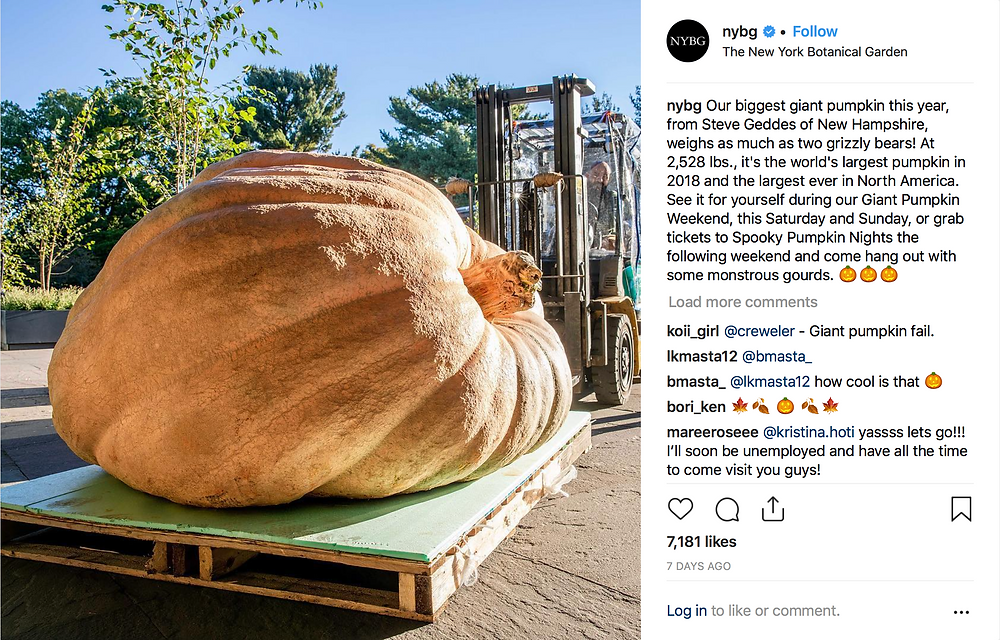 This year's largest pumpkin at the New York Botanical Garden