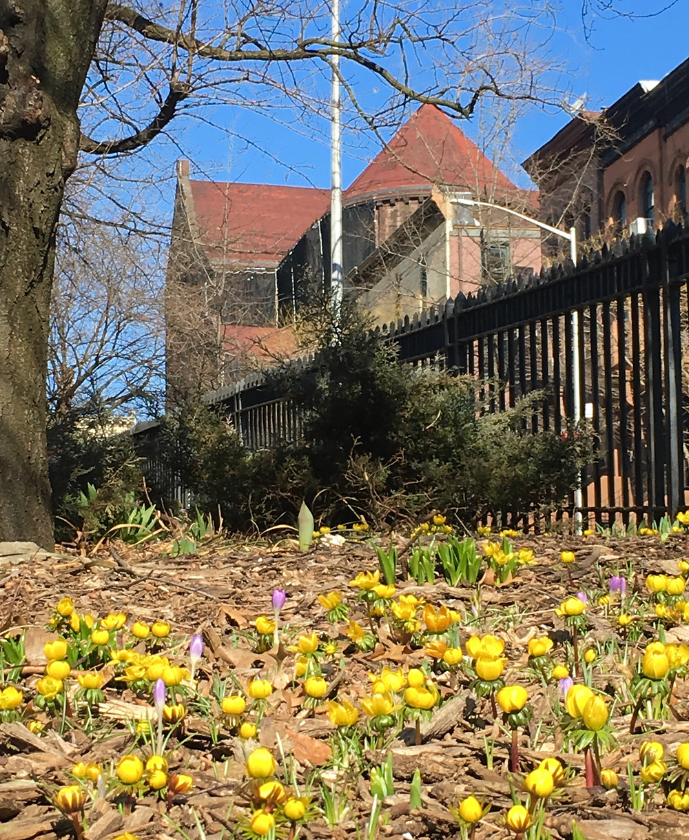 Spring flowers at St. Nicholas Park in Harlem