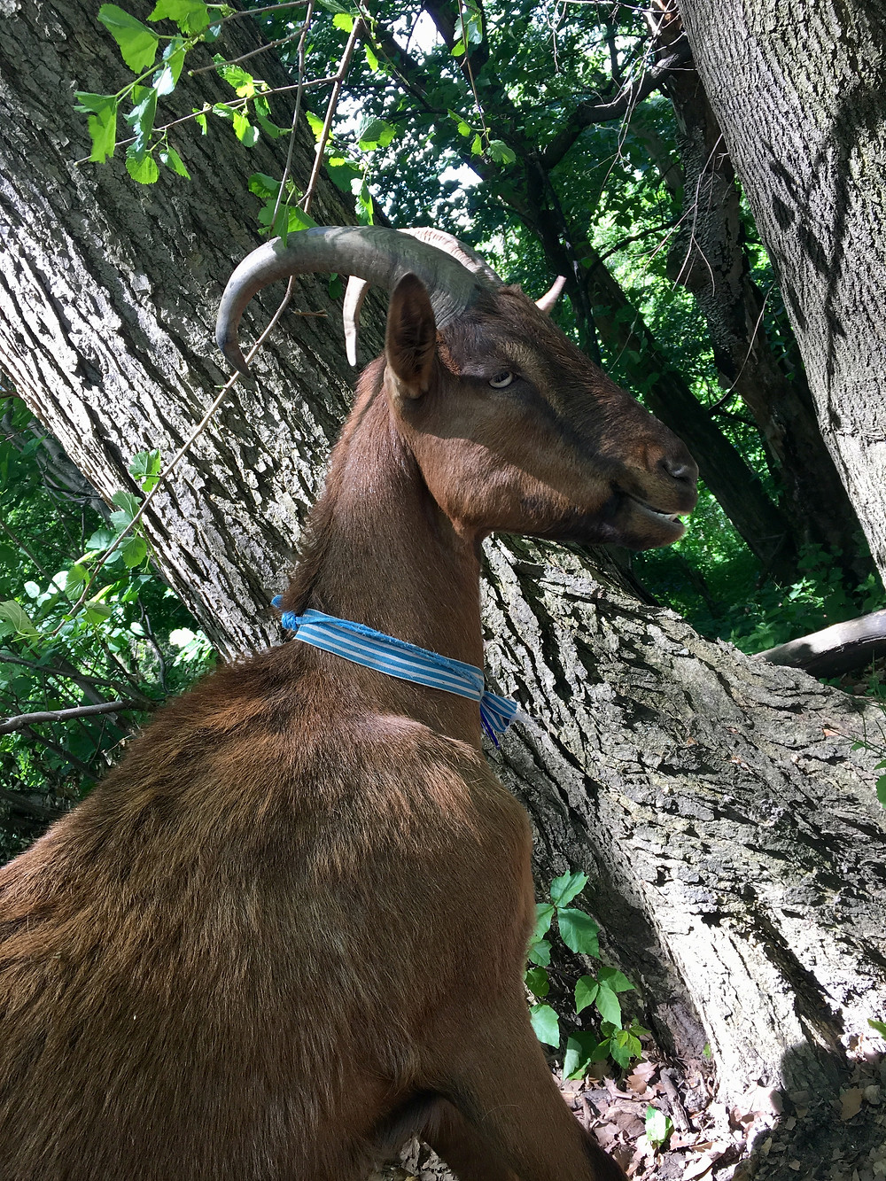 A goat in New York City's Riverside Park explores its new summer home