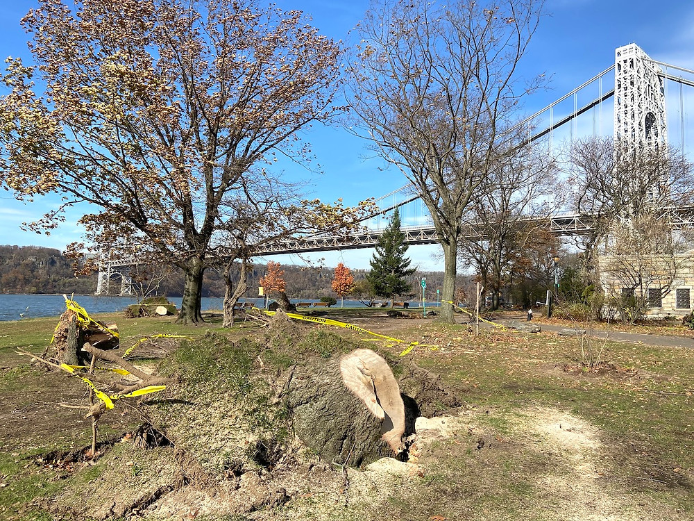 After tornado warning, as many as 10 trees uprooted in Fort Washington Park