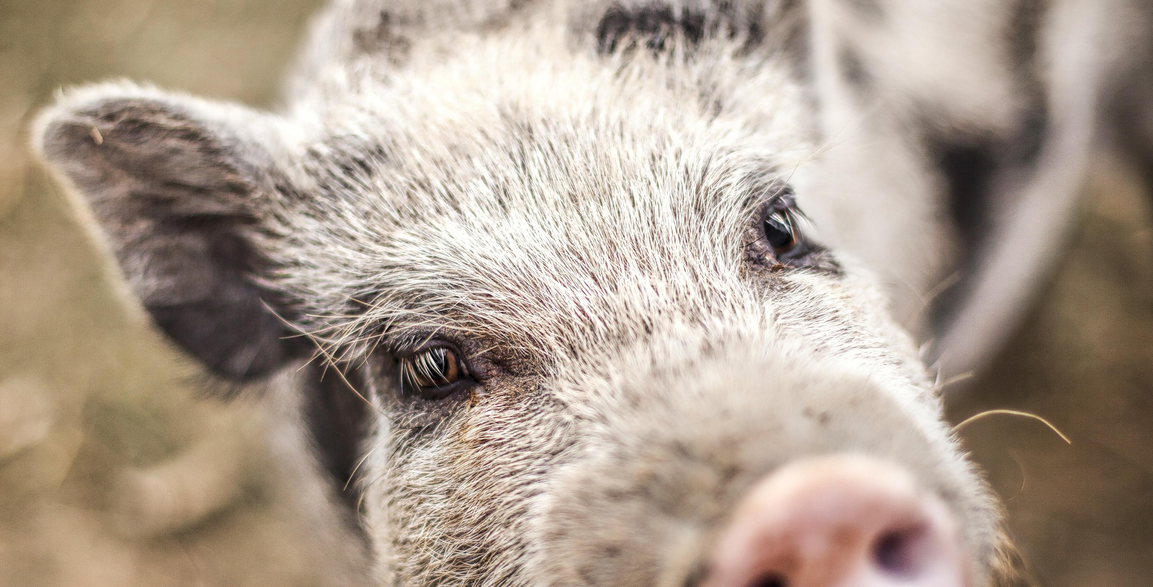 PIG cut pano.jpg