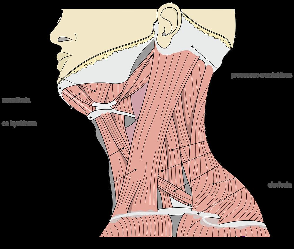 Betroffene Muskeln bei Nackenschmerzen