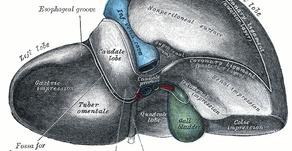 Die Leber als Stoffwechselorgan