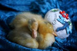 mini sleeping ducklings