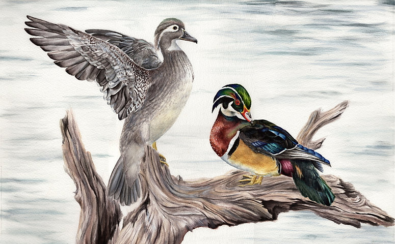 med wood ducks.jpg