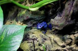 mini Blue Frog