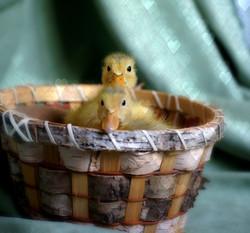 mini ducks