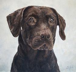 Chocolate Lab Portrait