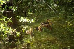 mini ducklings