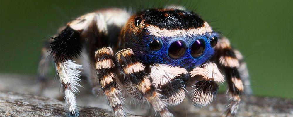 Adorable_Peacock _Spider,_Maratus_Personatus_outbackzack