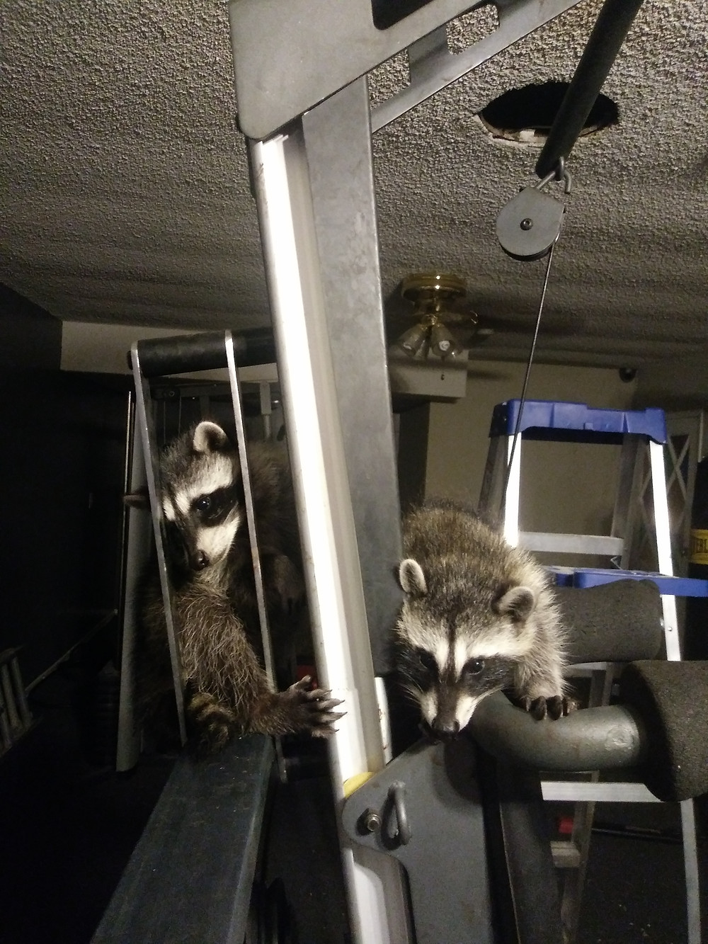 Raccoon kits on Lateral Pull Down Machine...