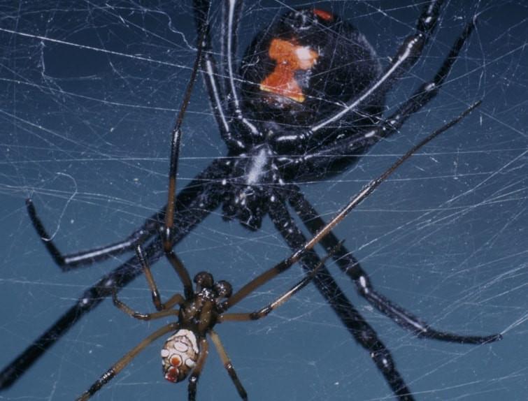 Female_male_black_widow_spider_outbackzack