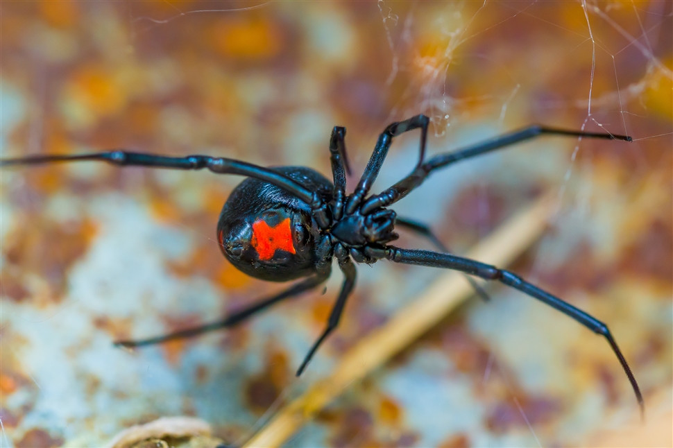 female_black_widow_spider_outbackack