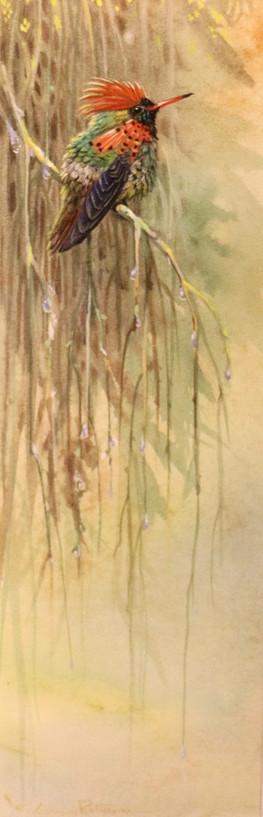 Crested Coquette Hummingbird.JPG