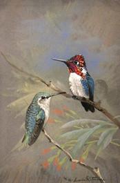Bee Hummingbirds 5x7 Acrylic Gouche on G